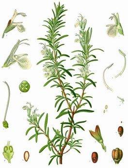 Planche Romarinus Officinalis