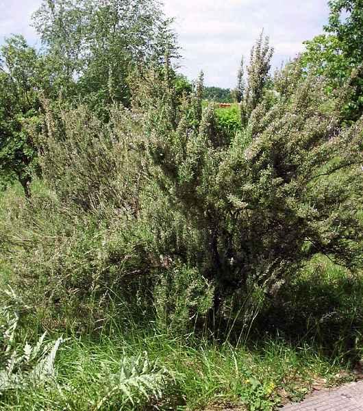Rosmarinus officinalis - Romarin en buisson