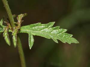 Feuille de verveine (Verbena Officinalis)