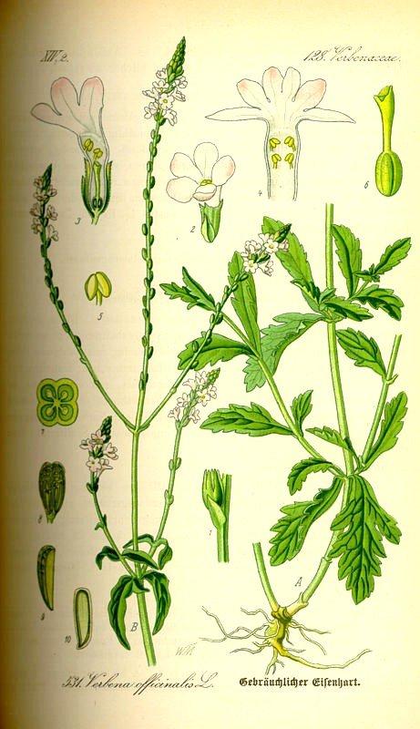 Planche - Verveine - Verbena Officinalis