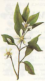 Neroli Citrus aurantium Bigaradia ( planche fleurie)