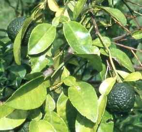 06-petitgrain - citrus aurantium