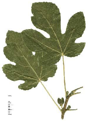 ficus (feuilles de figuier)