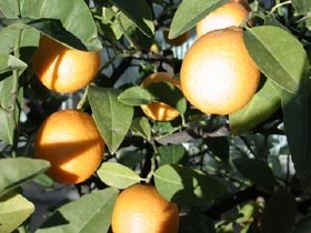 Oranger bigaradier (arbre avec feuilles et fruits)